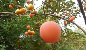 A Persimmon a Day