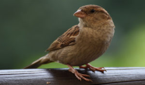 sparrow-featured-image