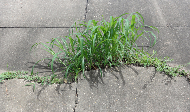 weeds-in-sidewalk-2